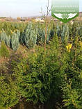 Thuja plicata 'Gelderland', Туя складчата 'Гелдерланд',WRB - ком/сітка,80-100см, фото 4