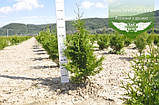 Thuja plicata 'Gelderland', Туя складчата 'Гелдерланд',WRB - ком/сітка,80-100см, фото 5