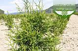 Thuja plicata 'Gelderland', Туя складчата 'Гелдерланд',WRB - ком/сітка,80-100см, фото 6