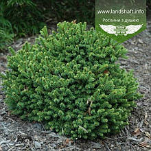 Picea abies 'Barryi', Ялина звичайна 'Баррі',C5 - горщик 5л