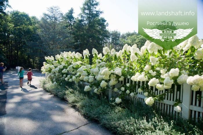 Hydrangea paniculata 'Polar Bear', Гортензія волотиста 'Полар Бер',C10 - горщик 10л