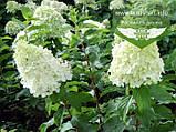 Hydrangea paniculata 'Polar Bear', Гортензія волотиста 'Полар Бер',C10 - горщик 10л, фото 2