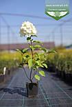 Hydrangea paniculata 'Polar Bear', Гортензія волотиста 'Полар Бер',C10 - горщик 10л, фото 5