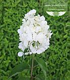 Hydrangea paniculata 'Polar Bear', Гортензія волотиста 'Полар Бер',C10 - горщик 10л, фото 6