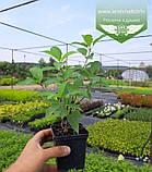 Hydrangea paniculata 'Polar Bear', Гортензія волотиста 'Полар Бер',C10 - горщик 10л, фото 7
