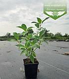 Hydrangea paniculata 'Polar Bear', Гортензія волотиста 'Полар Бер',C10 - горщик 10л, фото 8