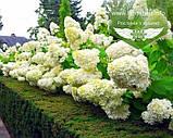 Hydrangea paniculata 'Polar Bear', Гортензія волотиста 'Полар Бер',C10 - горщик 10л, фото 9