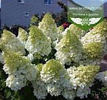 Hydrangea paniculata 'Polar Bear', Гортензія волотиста 'Полар Бер',C10 - горщик 10л, фото 10