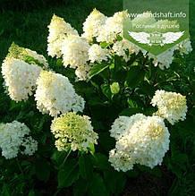 Hydrangea paniculata 'Silver Dollar', Гортензія волотиста 'Сілвер Доллар',C2 - горщик 2л
