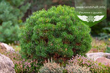 Pinus mugo var. pumilio, Сосна гірська 'Пуміліо',C5 - горщик 5л