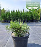Pinus mugo var. pumilio, Сосна гірська 'Пуміліо',C5 - горщик 5л, фото 2