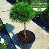 Pinus nigra 'Brepo', Сосна чорна 'Брепо',WRB - ком/сітка,PA40-60, фото 2