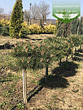 Pinus nigra 'Brepo', Сосна чорна 'Брепо',WRB - ком/сітка,PA40-60, фото 3