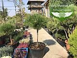 Pinus nigra 'Brepo', Сосна чорна 'Брепо',WRB - ком/сітка,PA40-60, фото 4