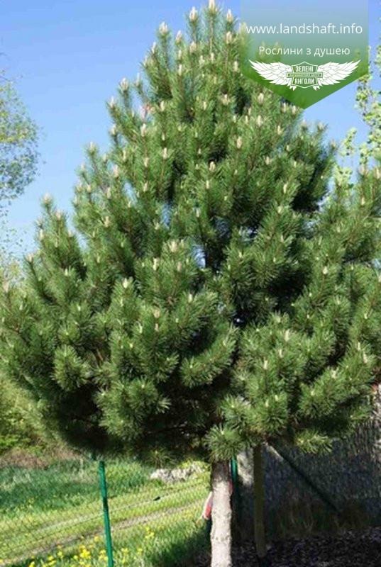 Pinus nigra var. austriaca, Сосна чорна 'Аустріяка',WRB - ком/сітка,60-80см