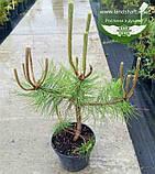 Pinus nigra var. austriaca, Сосна чорна 'Аустріяка',WRB - ком/сітка,60-80см, фото 4