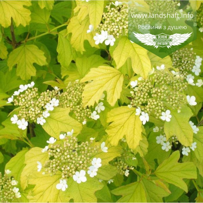 Viburnum opulus 'Harvest Park' , Калина звичайна 'Парк Харвест',C2 - горщик 2л