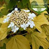 Viburnum opulus 'Park Harvest' , Калина звичайна 'Парк Харвест',C2 - горщик 2л, фото 2