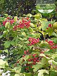 Viburnum opulus 'Park Harvest' , Калина звичайна 'Парк Харвест',C2 - горщик 2л, фото 3
