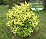 Viburnum opulus 'Harvest Park' , Калина звичайна 'Парк Харвест',C2 - горщик 2л, фото 4