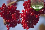 Viburnum opulus 'Park Harvest' , Калина звичайна 'Парк Харвест',C2 - горщик 2л, фото 5