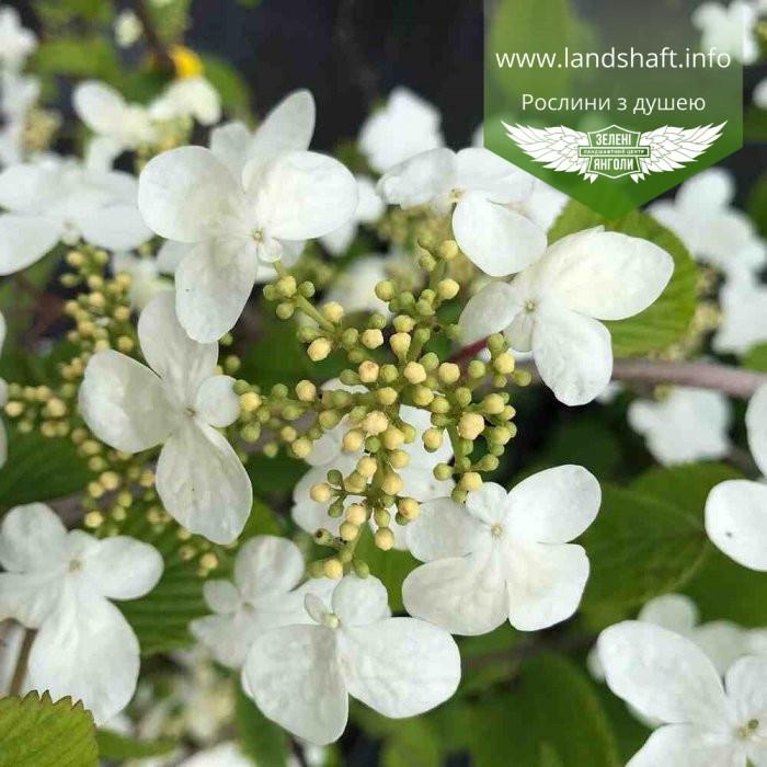 Viburnum plicatum 'Mariesii', Калина складчаста 'Маріезі',C15 - горщик 15л