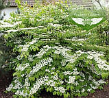 Viburnum plicatum 'Mariesii', Калина складчаста 'Маріезі',C15 - горщик 15л, фото 3