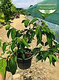 Viburnum plicatum 'Mariesii', Калина складчаста 'Маріезі',C15 - горщик 15л, фото 5