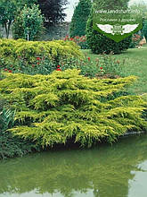 Juniperus chinensis 'Pfitzeriana Aurea', Ялівець китайський 'Пфітцеріана Ауреа',C2 - горщик 2л