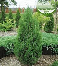 Juniperus chinensis 'Spartan', Ялівець китайський 'Спартан',WRB - ком/сітка,80-100см