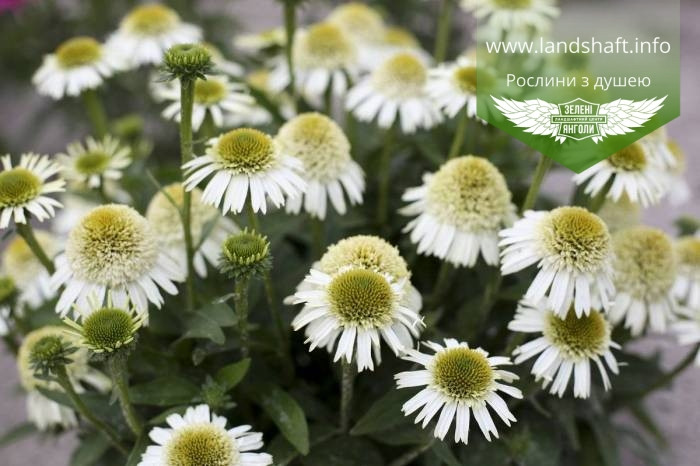 Echinacea 'Delicious Nougat', Ехінацея 'Делішез Нуга',C2 - горщик 2л