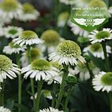 Echinacea 'Delicious Nougat', Ехінацея 'Делішез Нуга',C2 - горщик 2л, фото 2