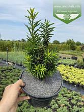 Taxus x media 'Hicksii', Тис середній 'Хіксі',C2 - горщик 2л,20-30см