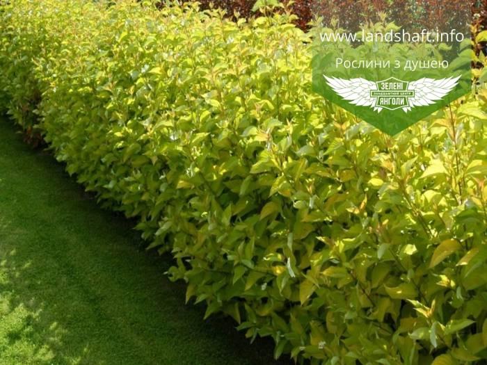 Cornus alba 'Aurea', Дерен білий 'Ауреа',C2 - горщик 2л