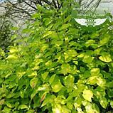 Cornus alba 'Aurea', Дерен білий 'Ауреа',C2 - горщик 2л, фото 2