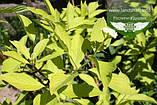 Cornus alba 'Aurea', Дерен білий 'Ауреа',C2 - горщик 2л, фото 3