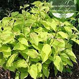 Cornus alba 'Aurea', Дерен білий 'Ауреа',C2 - горщик 2л, фото 4