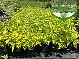 Cornus alba 'Aurea', Дерен білий 'Ауреа',C2 - горщик 2л, фото 6