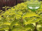 Cornus alba 'Aurea', Дерен білий 'Ауреа',C2 - горщик 2л, фото 9