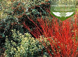 Cornus alba 'Regnzam/Red Gnome', Дерен білий 'Регнзам/Ред Гноум',C5 - горщик 5л, фото 9