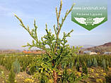 Thuja occidentalis 'Aureospicata', Туя західна 'Ауреоспіката',WRB - ком/сітка,80-100см, фото 3