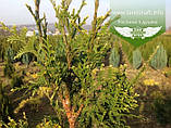 Thuja occidentalis 'Aureospicata', Туя західна 'Ауреоспіката',WRB - ком/сітка,80-100см, фото 5