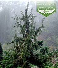 Juniperus communis 'Horstmann', Ялівець звичайний 'Хорстманн',WRB - ком/сітка,120-140см