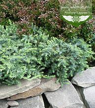 Juniperus conferta 'Schlager', Ялівець прибережний 'Шлягер',C2 - горщик 2л