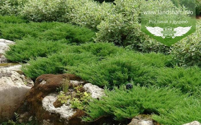 Juniperus horizontalis 'Andorra Compacta', Ялівець повзучий 'Андорра Компакта',C2 - горщик 2л