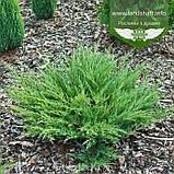 Juniperus horizontalis 'Andorra Compacta', Ялівець повзучий 'Андорра Компакта',C2 - горщик 2л, фото 2