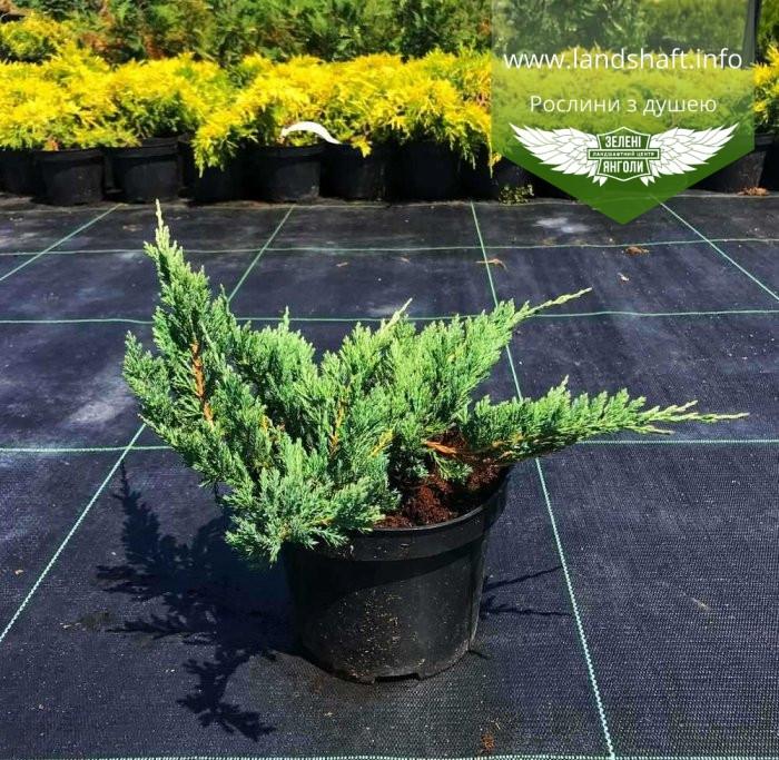 Juniperus horizontalis 'Hughes', Ялівець повзучий 'Хюз',C2 - горщик 2л