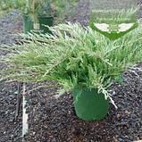 Juniperus horizontalis 'Hughes', Ялівець повзучий 'Хюз',C2 - горщик 2л, фото 2