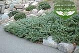 Juniperus horizontalis 'Hughes', Ялівець повзучий 'Хюз',C2 - горщик 2л, фото 4