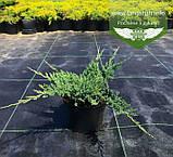 Juniperus horizontalis 'Hughes', Ялівець повзучий 'Хюз',C2 - горщик 2л, фото 5